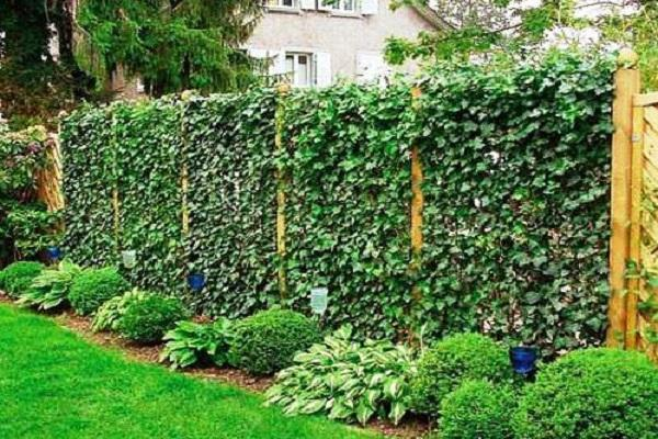 Лианы для сада: апофеоз вертикального озеленения