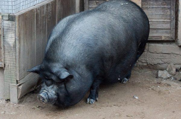 Вьетнамская порода свиней: внешний вид, рацион, разведение и уход
