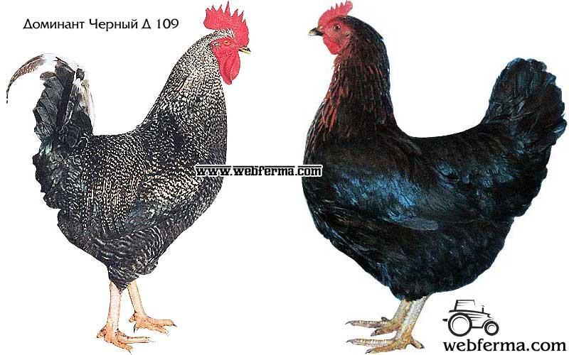 курица доминант