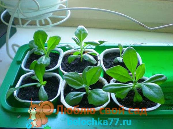 Остеоспермум: выращивание из семян и черенков в домашних условиях, фото цветка и особенности ухода