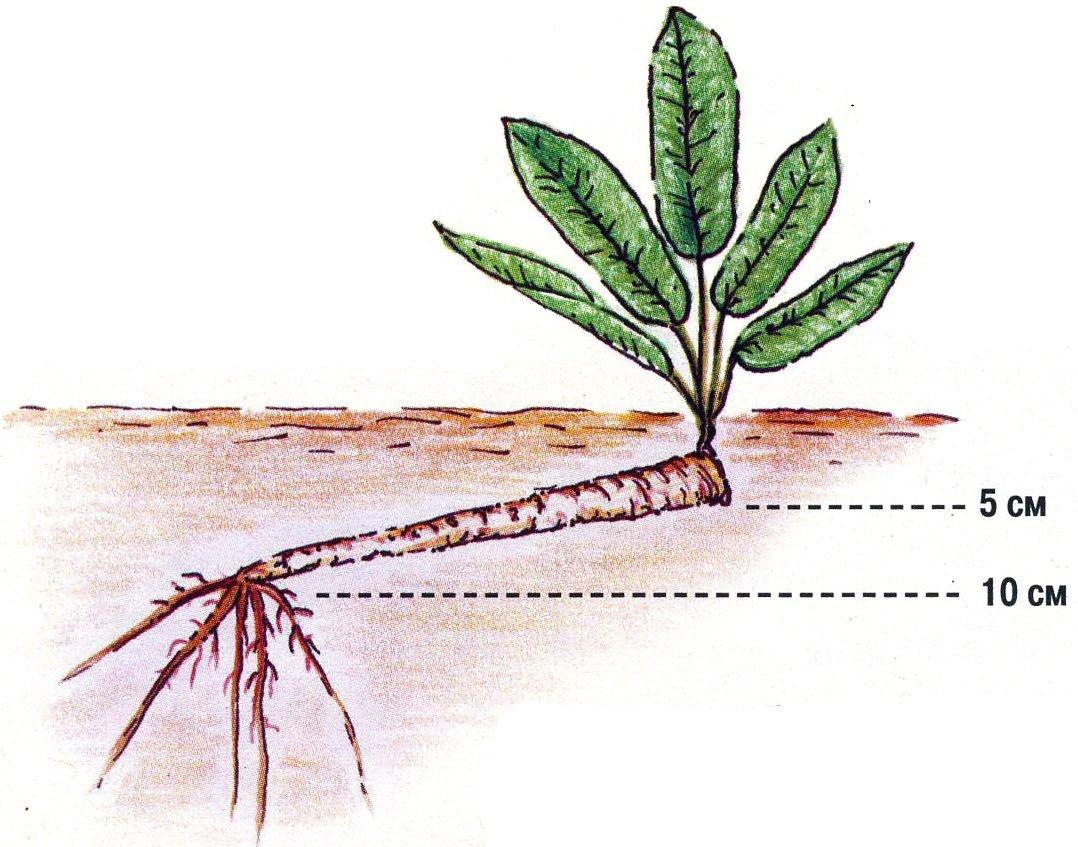 как растет хрен