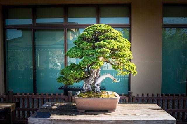 Выбор комнатного бонсая — все о бонсай на mirbonsai.com