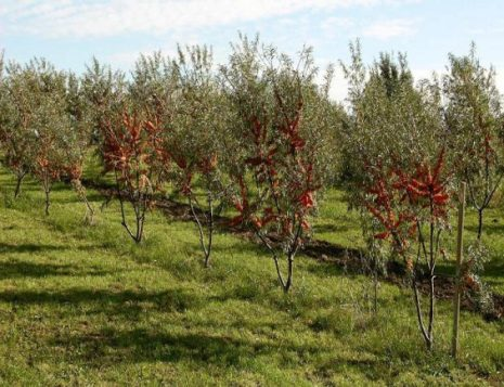 Посадка облепихи — как правильно сажать и когда: весной или осенью