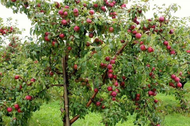 Яблоня лобо: описание и характеристика сорта, чем полезны, посадка и уход