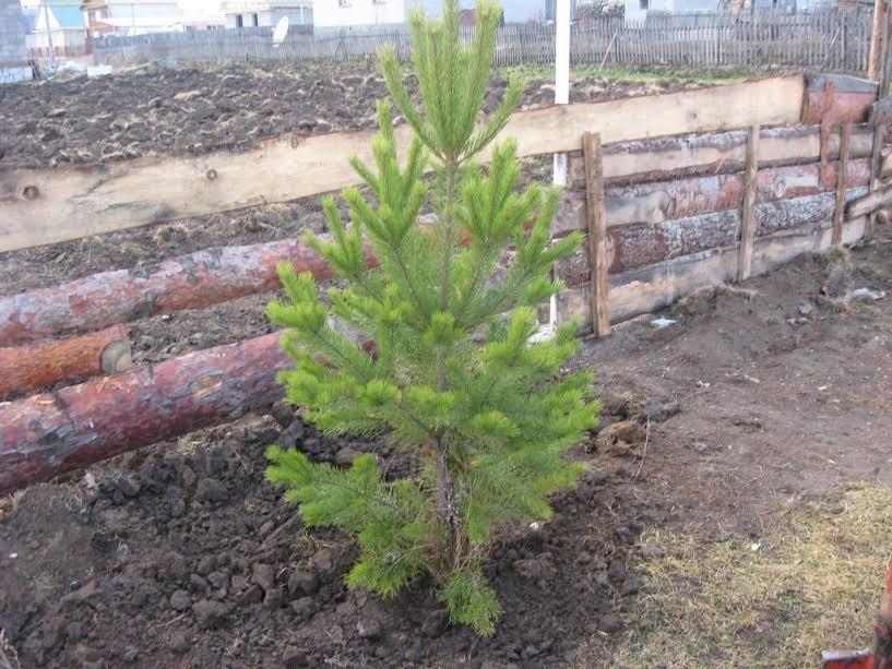 как сажать елку осенью