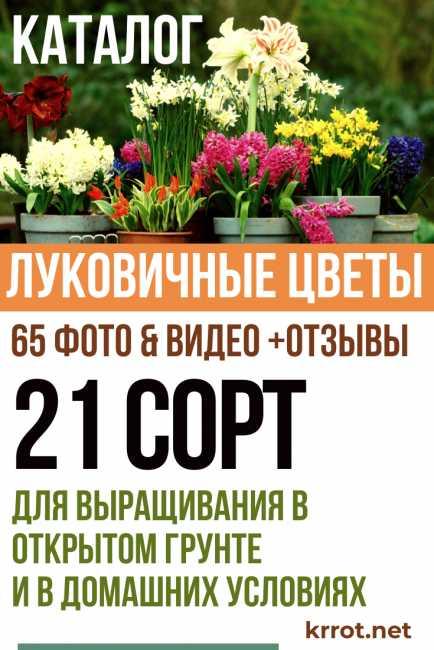 Луковичные и клубневые комнатные цветы