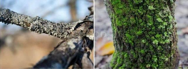Лишайники на плодовых деревьях - способы борьбы