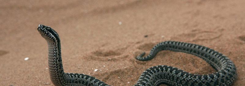 живородящие змеи гадюки