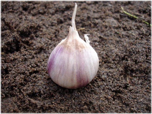 Посадка чеснока осенью под зиму: когда и как посадить правильно