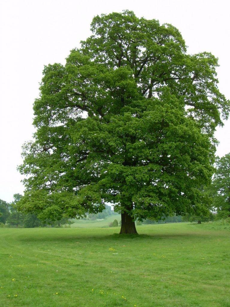 росток дуба