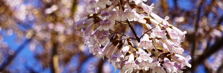 Выращивание дерева павлонии из семян в домашних условиях, павловния войлочная