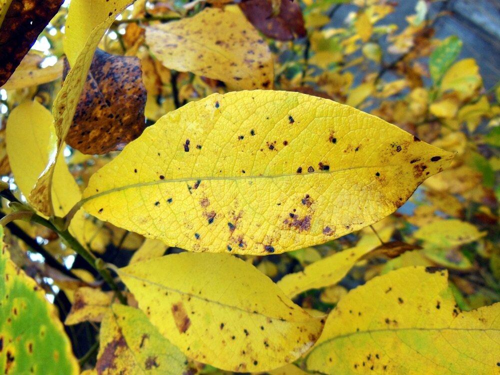 Нужно ли убирать из сада опавшие осенью листья?