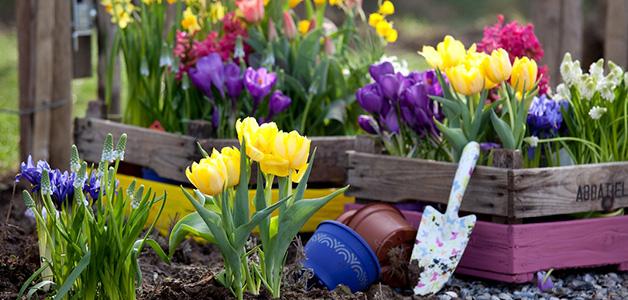 Посадка и уход за тюльпанами в открытом грунте