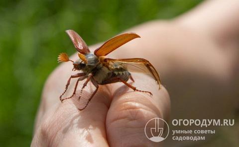 Способы борьбы с личинками майского жука | огородники