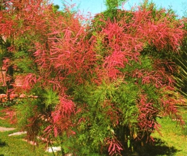 Описание и виды растения тамарикс, способы размножения, посадка и уход за кустарником в открытом грунте
