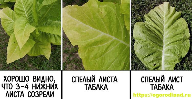Выращивание табака в домашних условиях: пошаговая инструкция