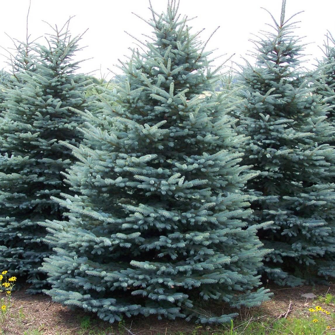 как выглядит елка