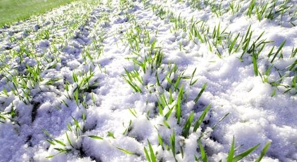 Какие сидераты лучше всего сеять в огороде и теплице весной - огород, сад, балкон - медиаплатформа миртесен