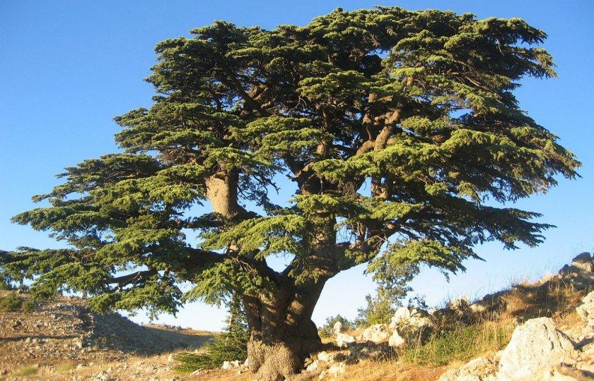 Хвойное растение кедр: фото и видео, как вырастить на даче и организовать уход, описание дерева
