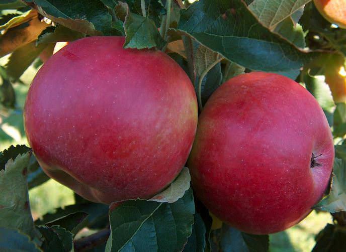 Зимние сорта яблок хранящиеся до весны. обзор зимних сортов яблони