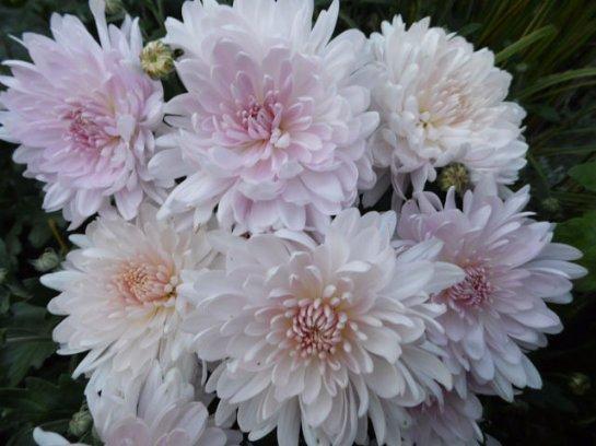 корейские хризантемы фото