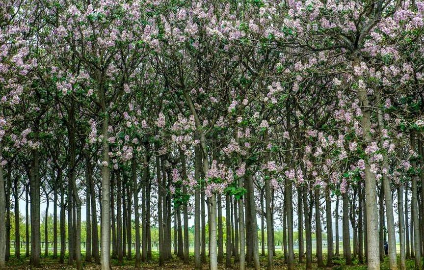 дерево павловния фото