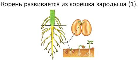 виды корней у растений