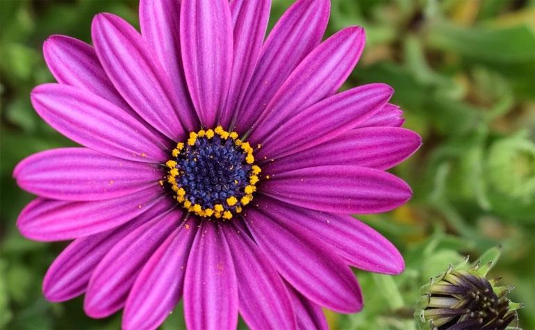 Остеоспермум - фото, посадка и уход, выращивание из семян в домашних условиях