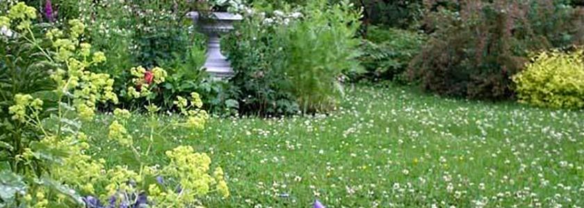 Клевер белый ползучий: его плюсы и минусы, как устроить газон, организовать посадку и уход за ним
