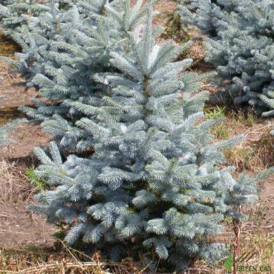 Picea pungens super blue посадка и уход