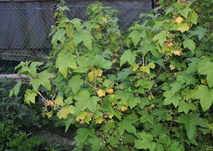 Черная смородина: посадка, уход, выращивание в открытом грунте