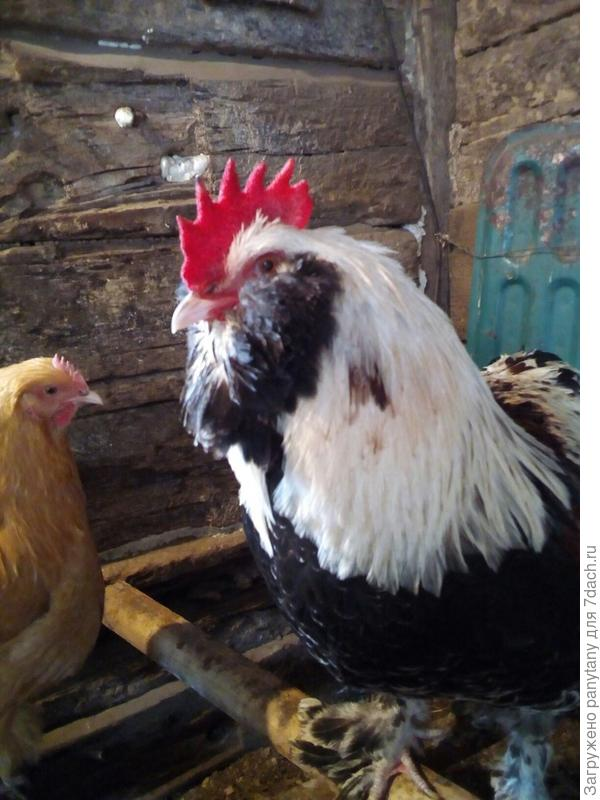 По каким причинам несушка перестала нести яйца?