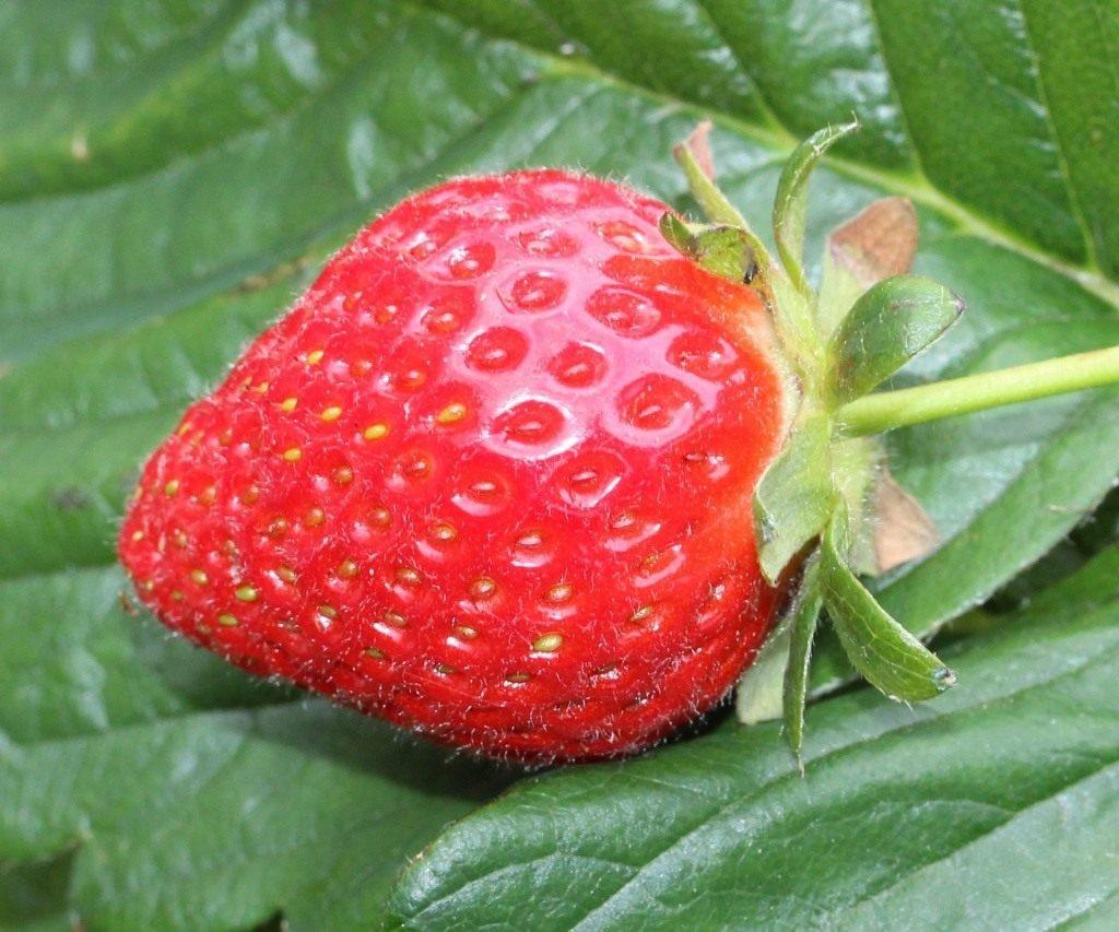 Земляника садовая, как вырастить правильно? | cельхозпортал