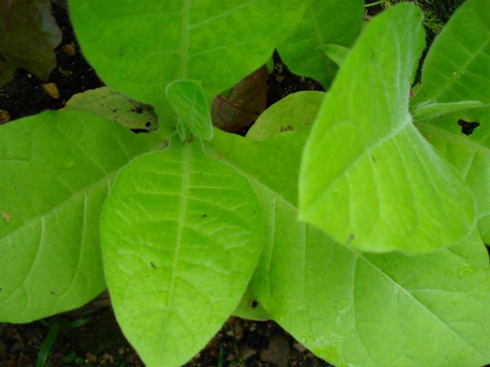 Выращивание табака в домашних условиях,