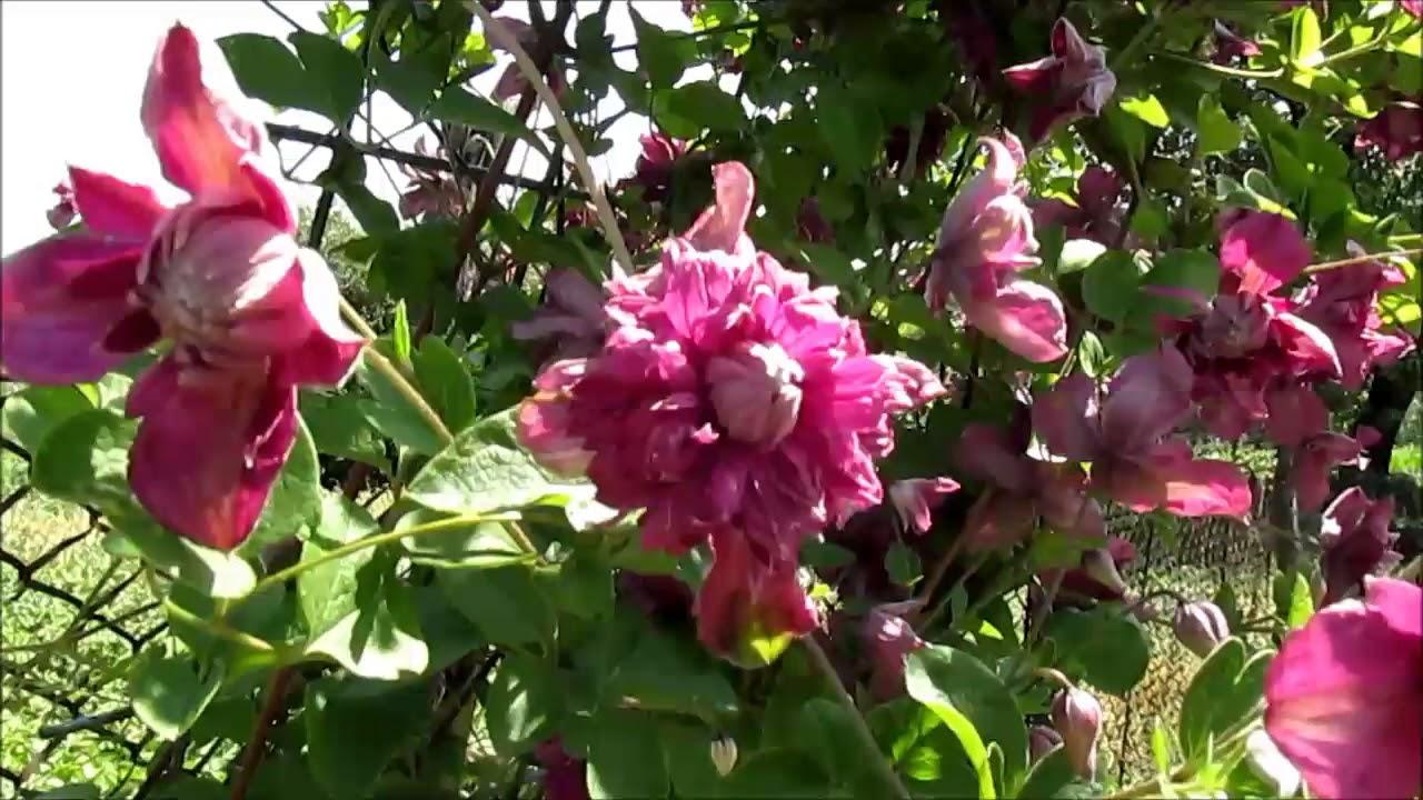 клематис пурпуреа элеганс