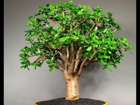 денежное дерево википедия
