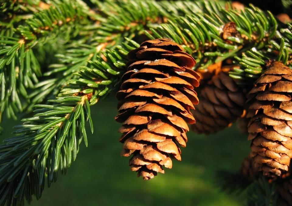 елка дерево