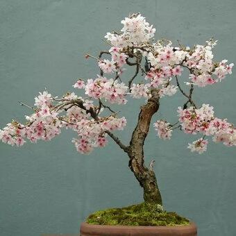 Как вырастить бонсай из сакуры?