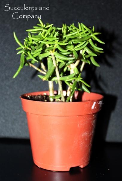 Как вырастить суккуленты из семян?