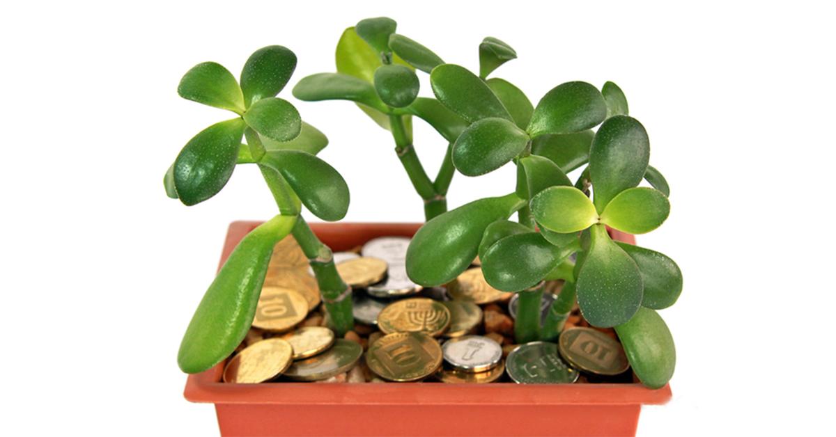 денежное дерево фото и описание
