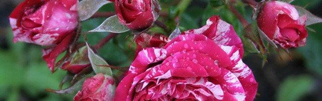 Необычный метод вырастить розу из черенков в домашних условиях в картошке. как посадить и укоренить цветок?