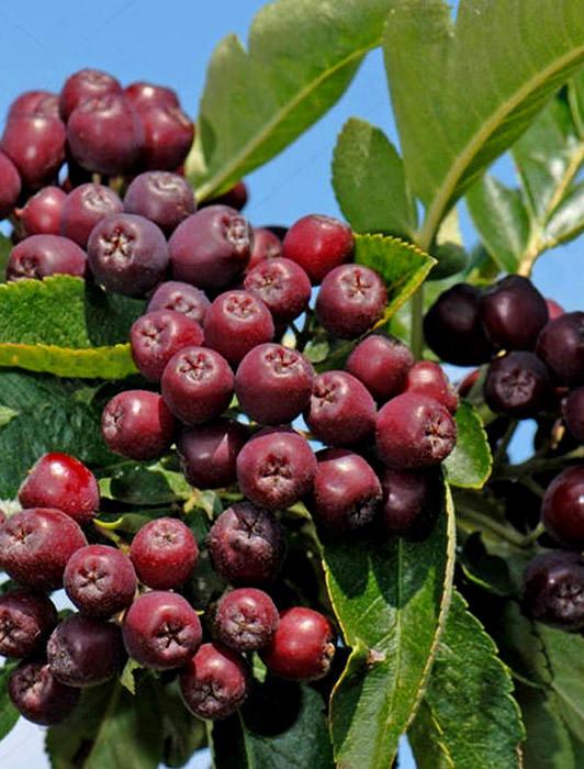 Рябина: виды и сорта, секреты выращивания