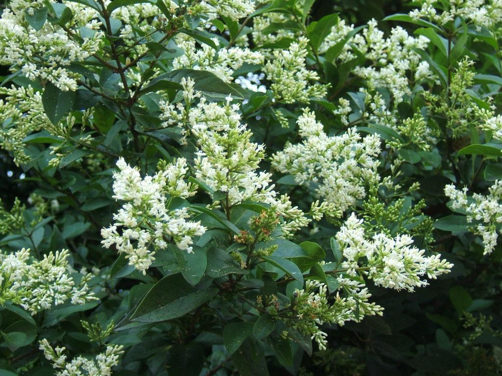 Бирючина - сорта и виды   образцовая усадьба