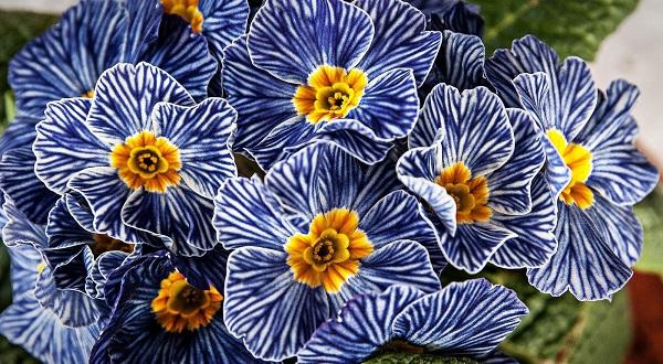 Примула юлии — неприхотливый и яркий первоцвет в саду. посадка, уход и сорта. фото — ботаничка.ru