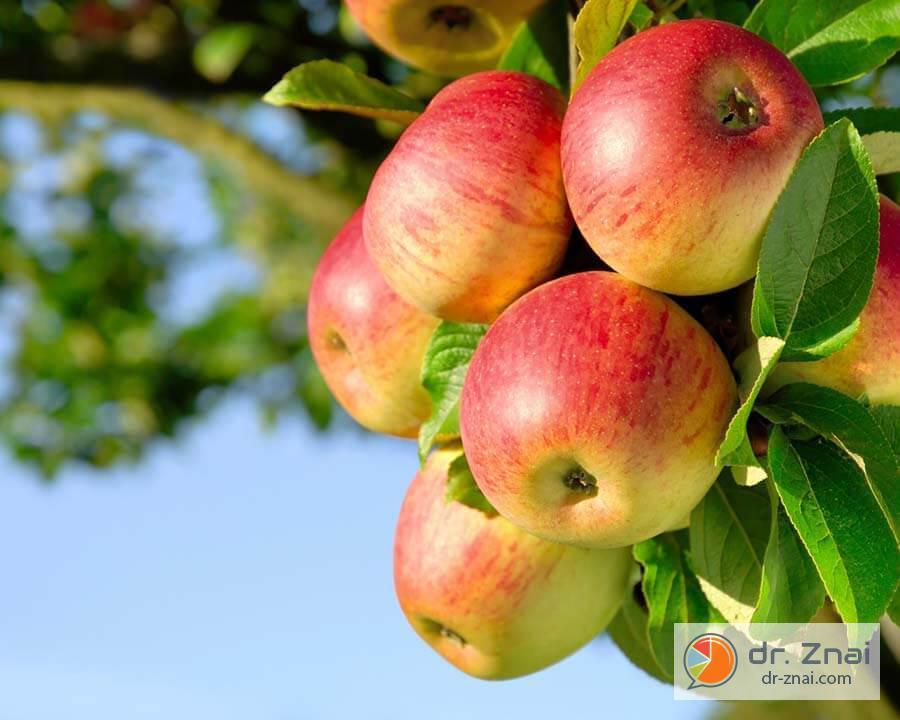 Лучшие 10 сортов яблонь для средней полосы. список названий с описаниями и фото — ботаничка.ru