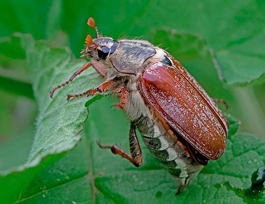 Как бороться с майским жуком и его личинками (хрущами) на огороде и в саду – zelenj.ru – все про садоводство, земледелие, фермерство и птицеводство