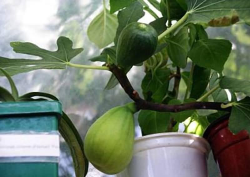 Особенности выращивания инжира: советы новичкам