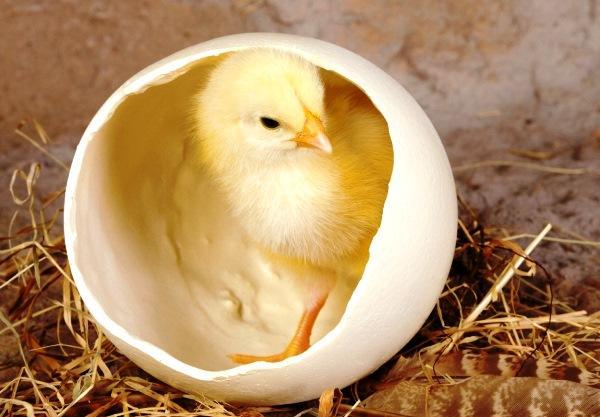 Почему петух не топчет куриц что сделать