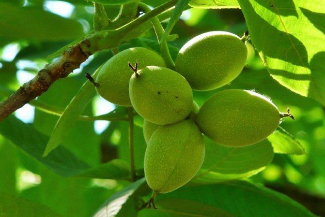 Маньчжурский орех: польза и вред для организма