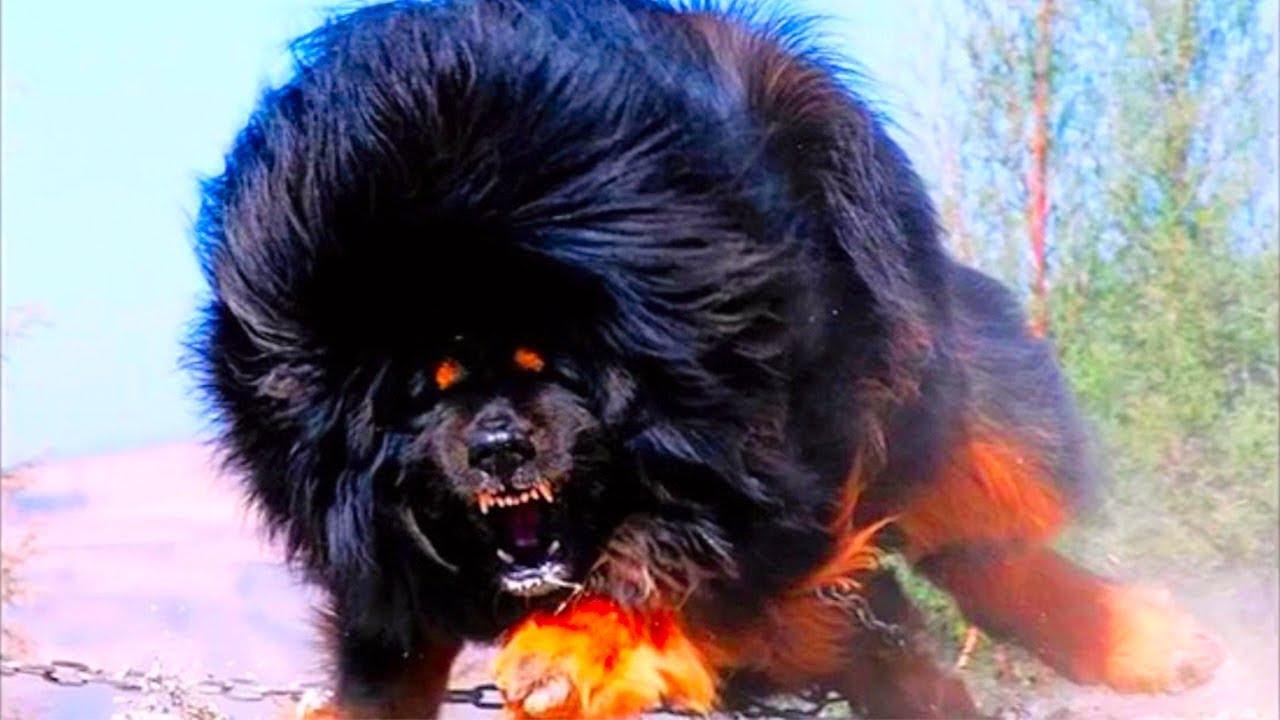 лучшая собака для охраны частного дома